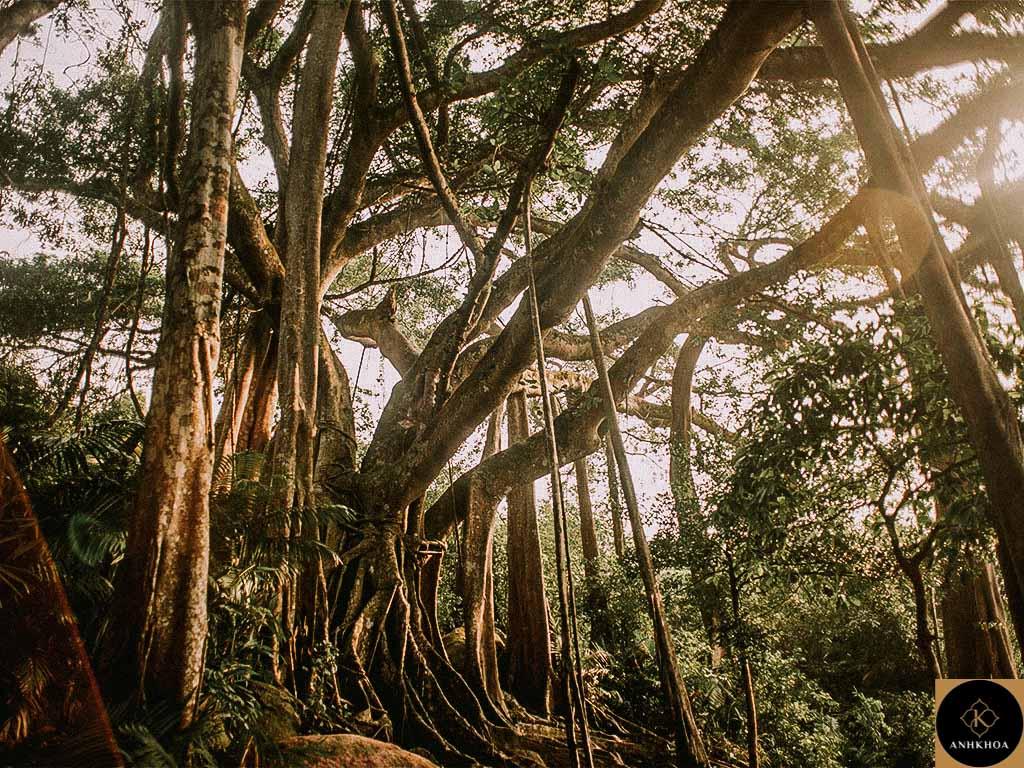 Son Tra Giant Banyan Tree